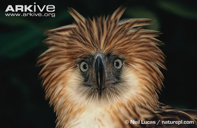 Digestion and Physiology     Philippine Eagle  Pithecophaga